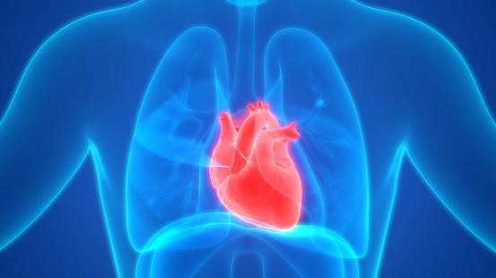 istock Human Heart Anatomy 1086605546