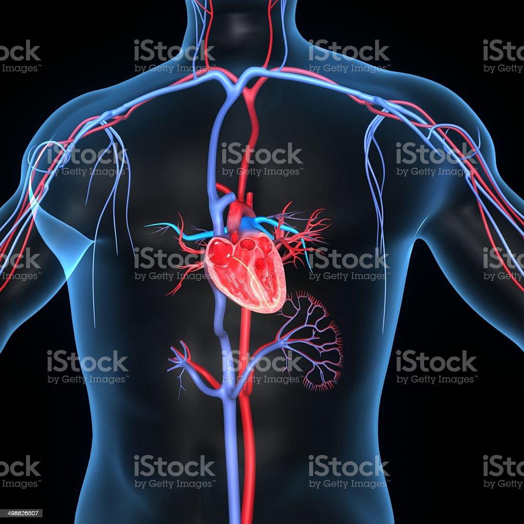 Corazón Humano Anatomía - Stock Foto e Imagen de Stock | iStock