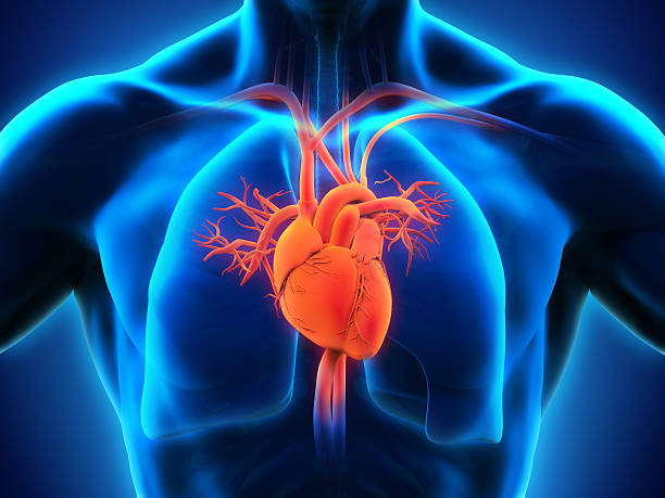 Royalty Free Human Heart Pictures, Images and Stock Photos - iStock