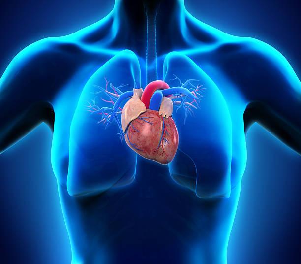 menschliches herz anatomie - herz lungen training stock-fotos und bilder