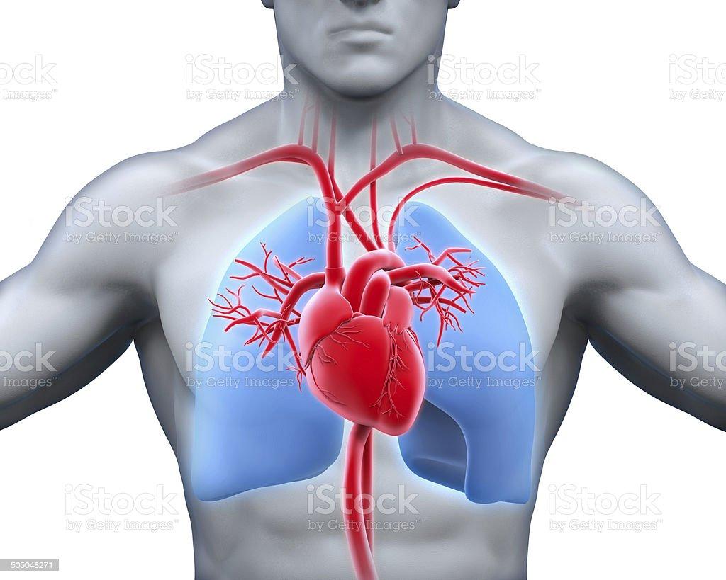 анатомия человека картинки сердце