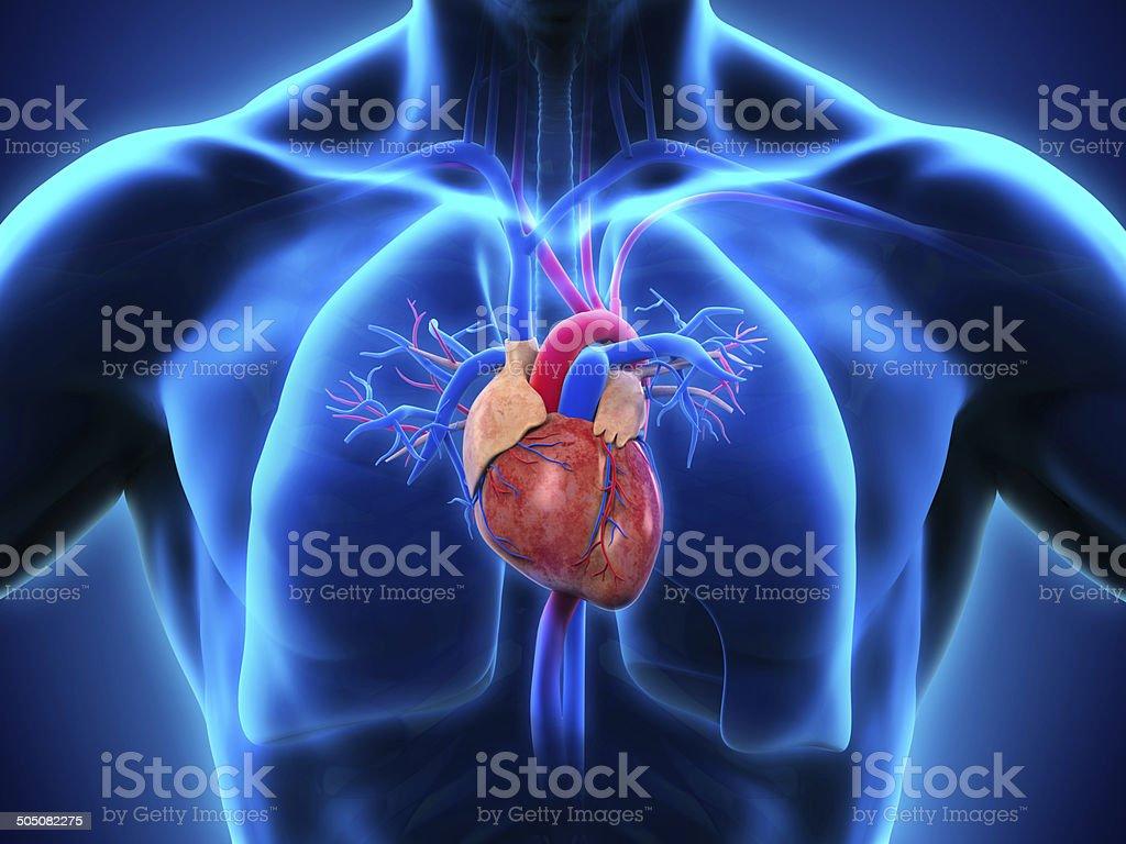 Corazón Humano Anatomía - Fotografía de stock y más imágenes de ...