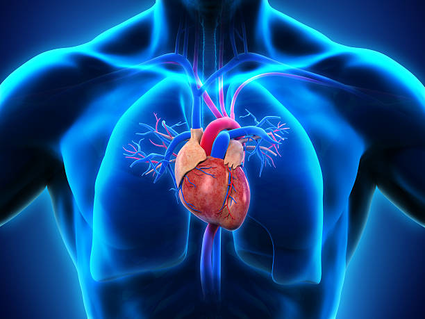 human heart anatomy - human heart stock photos and pictures