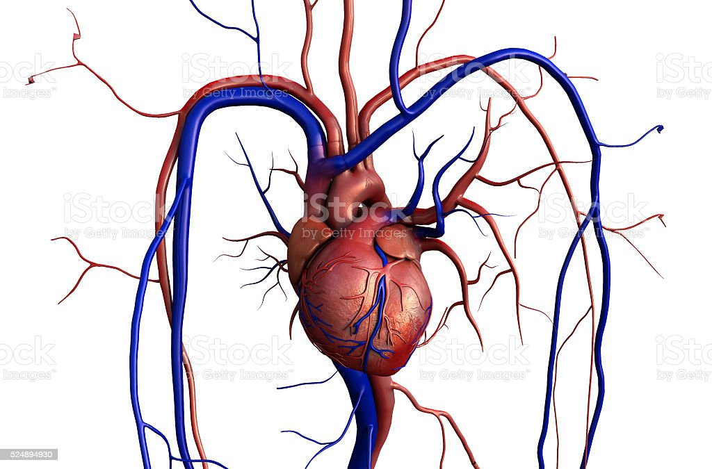 Human Heart Anatomy Stock Photo & More Pictures of Aggression | iStock