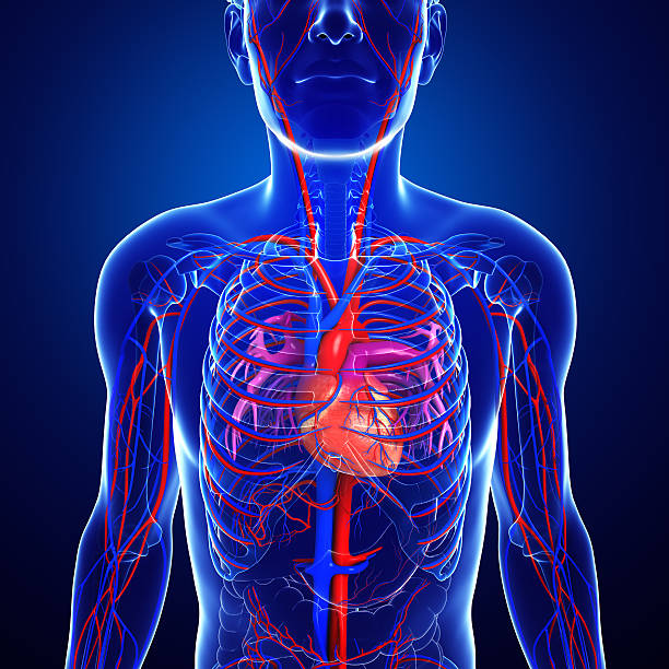 Royalty Free Pulmonary Artery Pictures, Images and Stock Photos - iStock