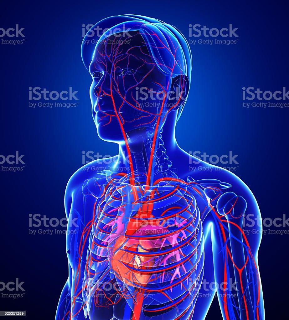 Menschliches Herz Anatomie Stock-Fotografie und mehr Bilder von ...