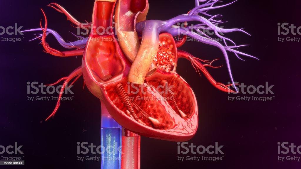 Menschliches Herz Anatomie - Stockfoto   iStock