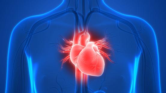 istock Human Heart Anatomy 990873330
