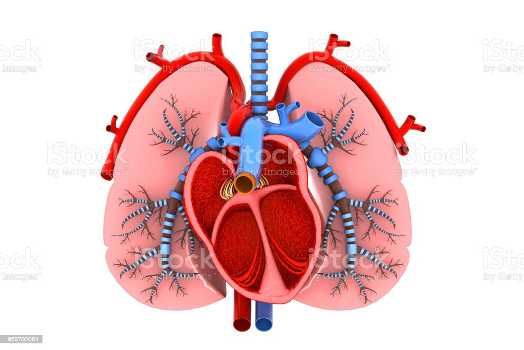 Human Heart And Lungs Cross Section Stock Photo More Pictures Of