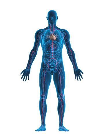 istock Human heart and vascular system 182043494