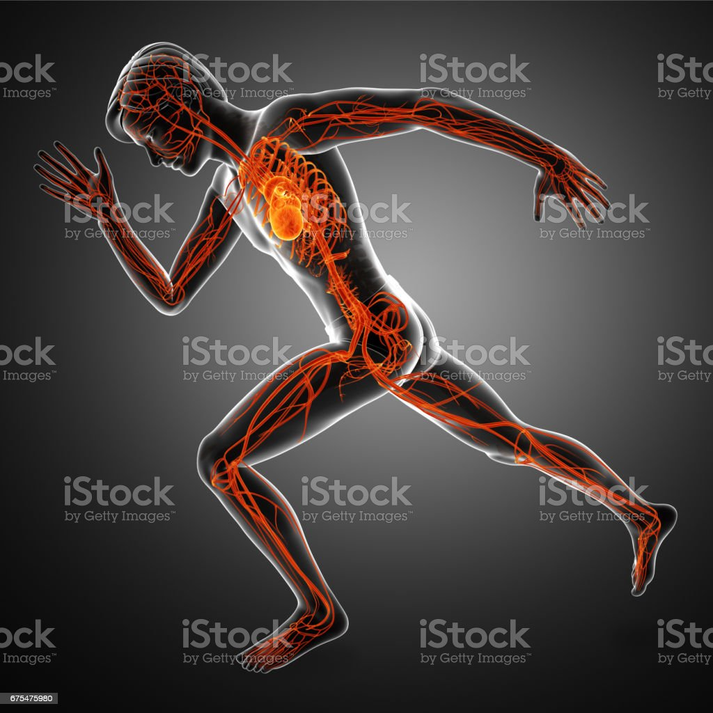 Human heart and vascular system stock photo
