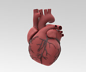 Human heart and vein in rubber material illustration