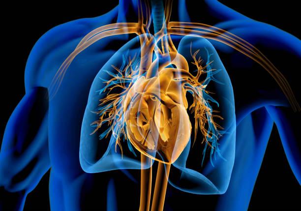 menschlicher herzquerschnitt mit gefäßen, lunge, bronchialbaum und geschnittenem rippenkäfig. - herz lungen training stock-fotos und bilder