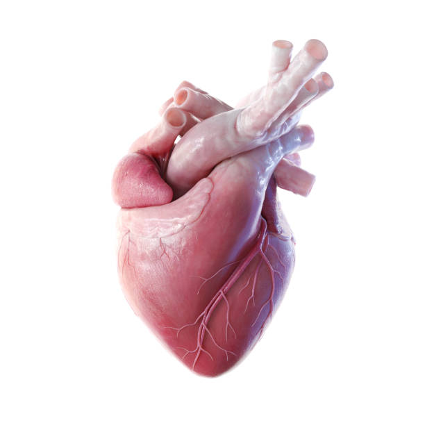 Human heart front view 3D front view render of the human heart human heart stock pictures, royalty-free photos & images