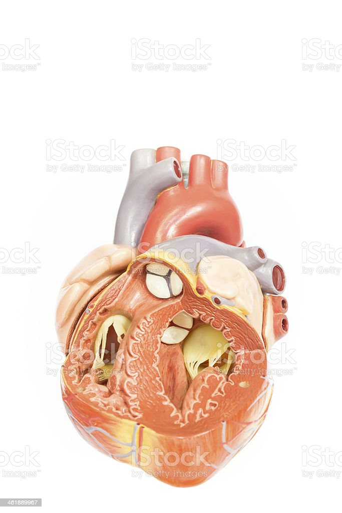 Human heart model front view stock photo