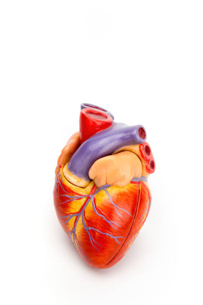Human heart model isolated on white background stock photo