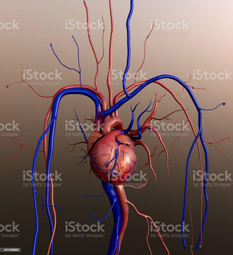 O Modelo heart - foto de acervo