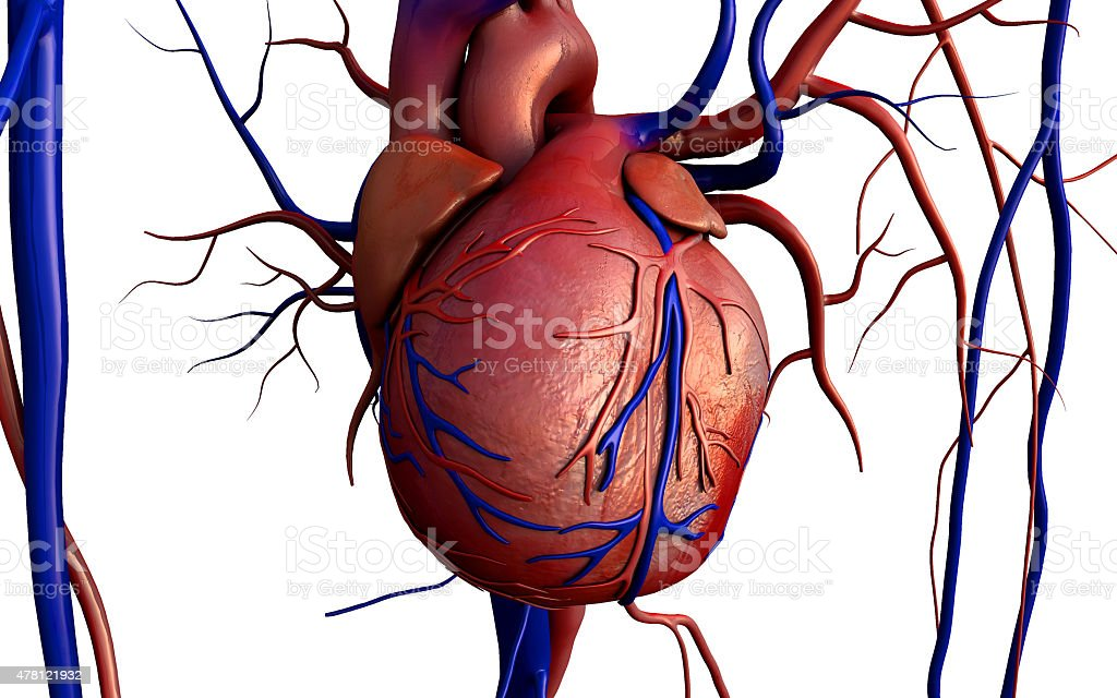 Human heart on white stock photo