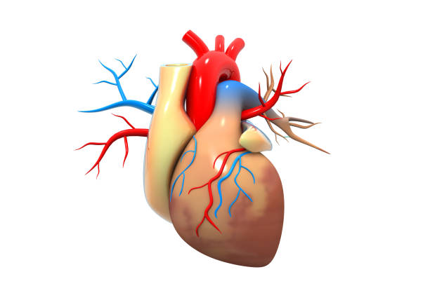 Human heart Human heart lateral ventricle stock pictures, royalty-free photos & images