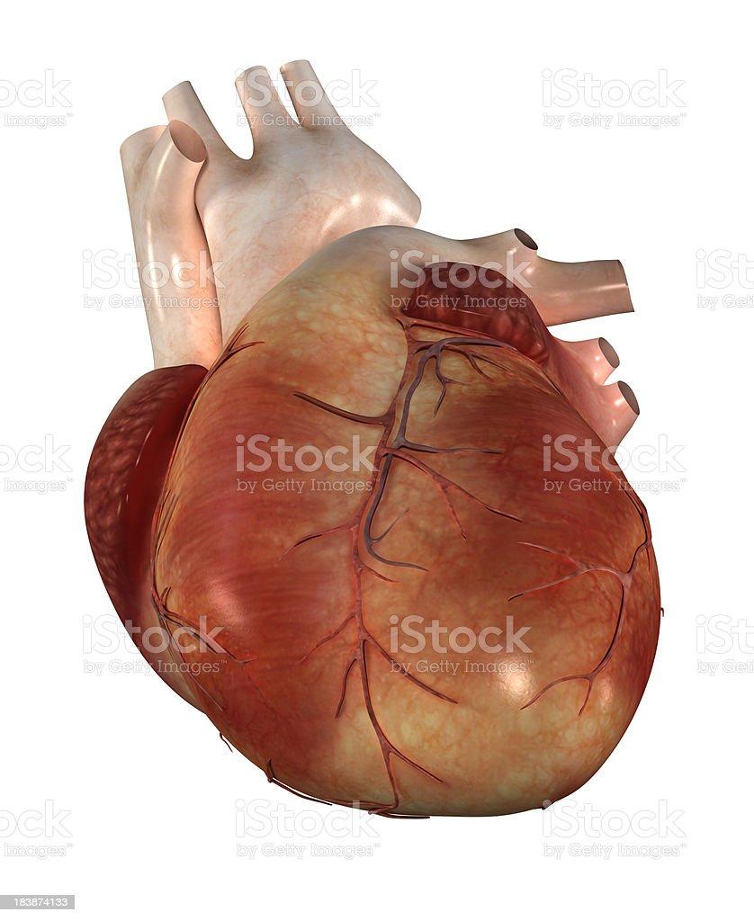 Coração Humano - foto de acervo