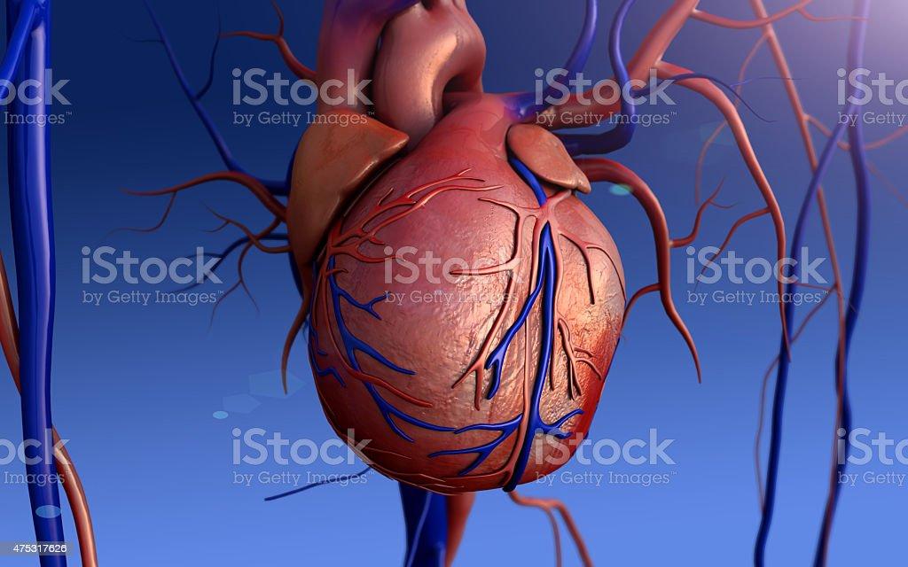 Human Heart stock photo | iStock
