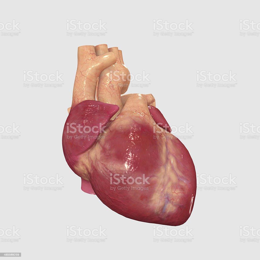 Menschliches Herz Stock-Fotografie und mehr Bilder von Anatomie | iStock