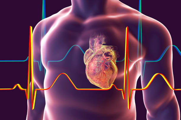 Human heart with heart vessles Human heart with heart vessles inside human body and ECG, 3D illustration biomedical illustration stock pictures, royalty-free photos & images