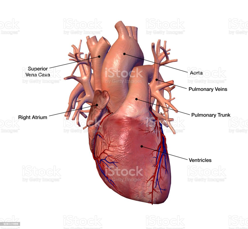 Human Heart With Labels On White Background Stock Photo Download Image Now Istock