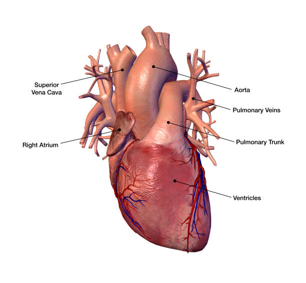 Royalty Free Pulmonary Artery Pictures Images And Stock Photos Istock