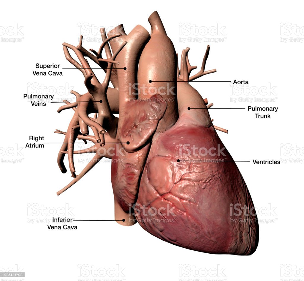Human Heart With Labels On White Background Stock Photo More