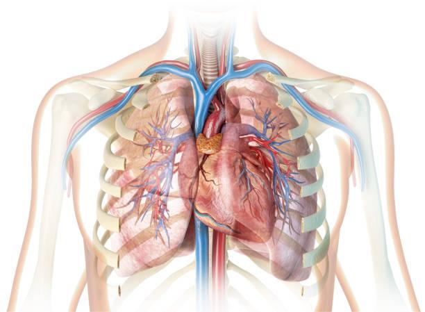 menschliches herz mit gefäßen und geschnittenem rippenkäfig. - herz lungen training stock-fotos und bilder