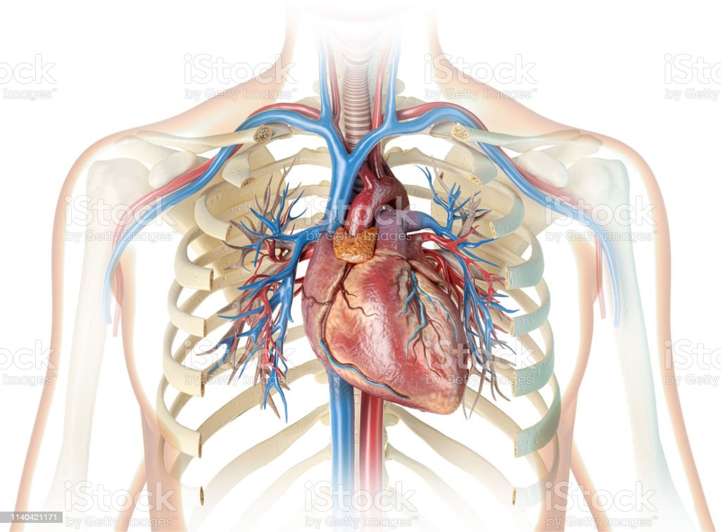 Human Heart With Vessels Bronchial Tree And Cut Rib Cage Stock Photo Download Image Now Istock