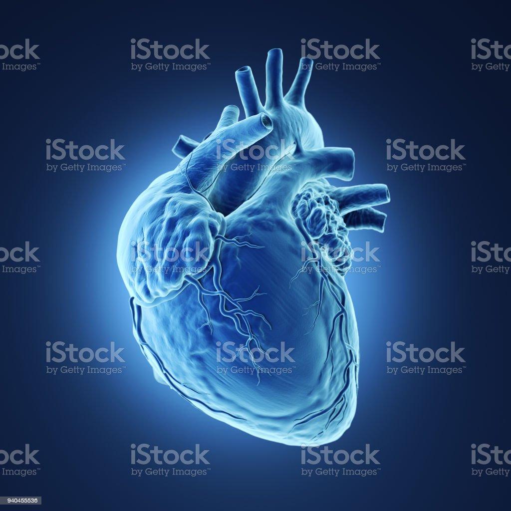 Human heart Xray. stock photo