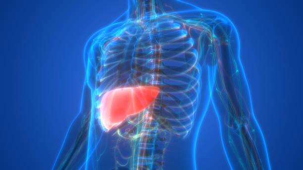 Human Internal Digestive Organ Liver Anatomy stock photo