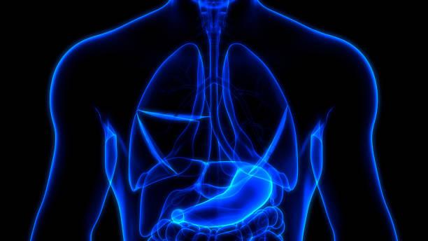 humanes inneres verdauungsorgan magen anatomie - speiseröhre stock-fotos und bilder