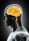 istock Human Internal Organic - Brain. 515480174