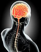 istock Human Internal Organic - Brain. 515480860