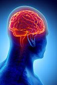 istock Human Internal Organic - Brain. 579766752