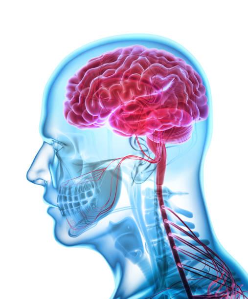 Human Internal Organic - Brain. Human Internal Organic - Human Brain, 3D illustration medical concept. cerebellum stock pictures, royalty-free photos & images