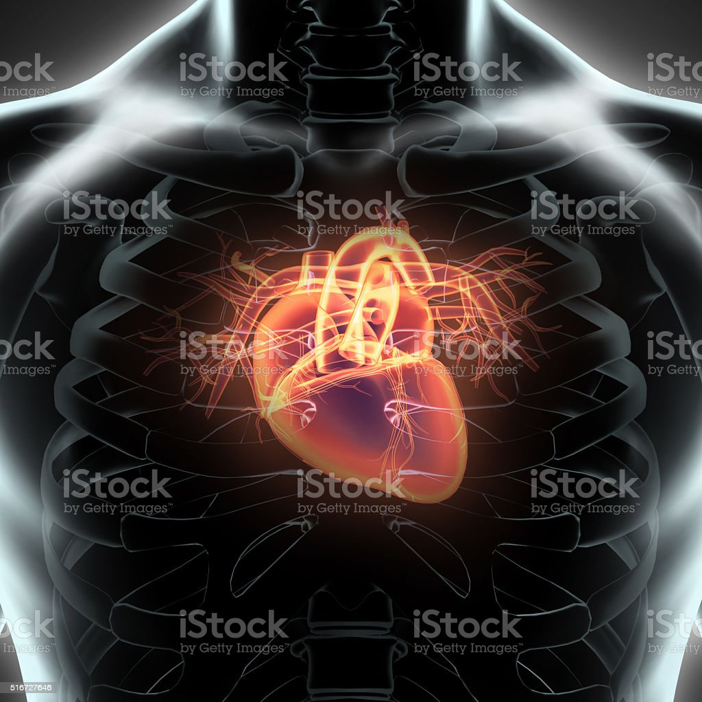 Human Internal Organic - Human Heart. stock photo