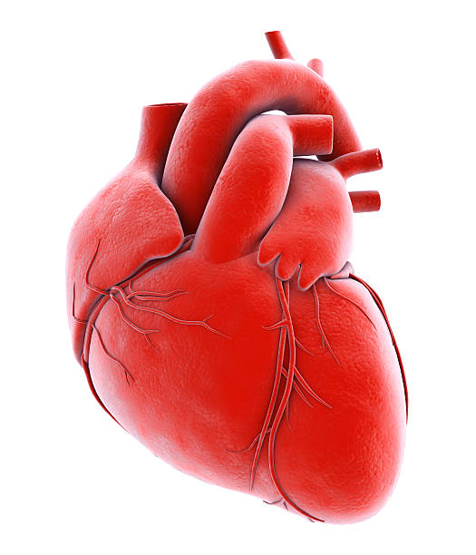 human internal organic - human heart. - human heart stock photos and pictures
