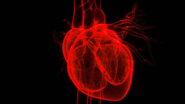 Human Internal Organs Circulatory System Heart Anatomy stock photo