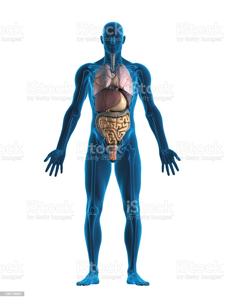 Human internal organs stock photo