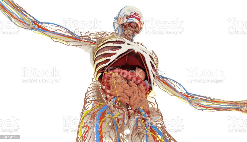 Human internal organs - foto stock