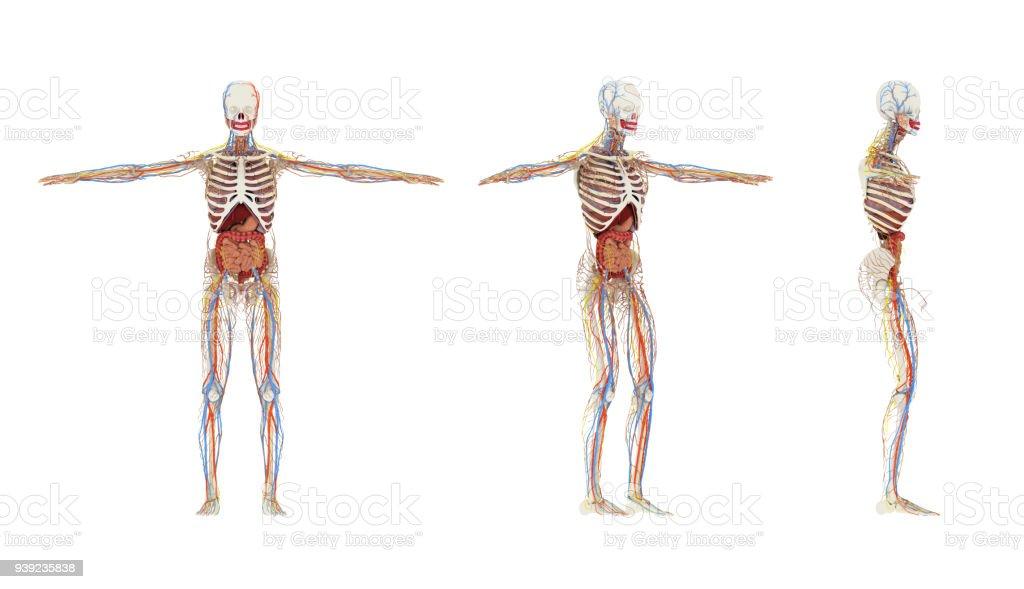 Erfreut Bilder Menschliche Organe Ideen - Menschliche Anatomie ...