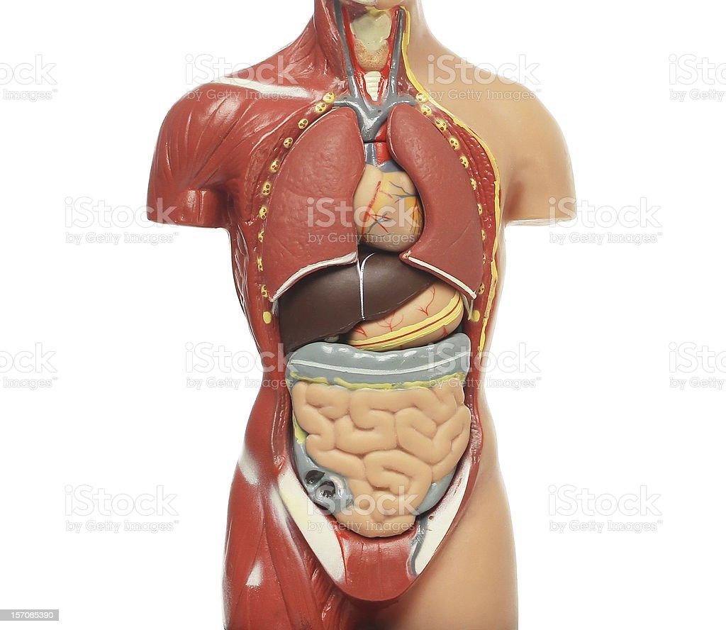 Human Internal System .Anatomical model royalty-free stock photo