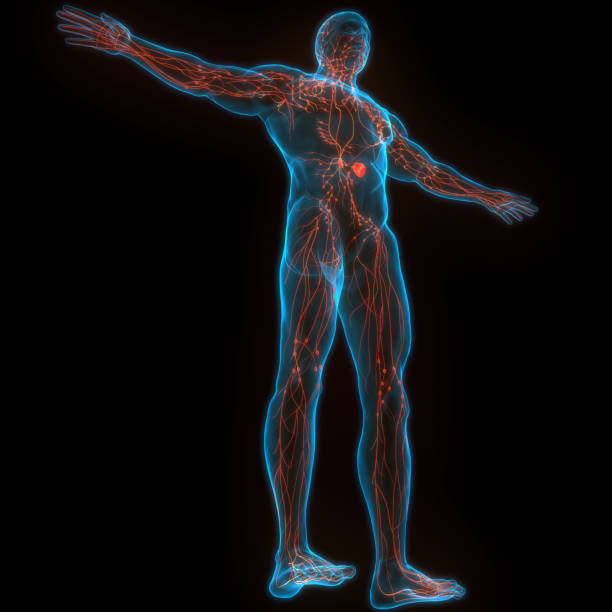 Human Internal system Lymph Nodes Anatomy stock photo