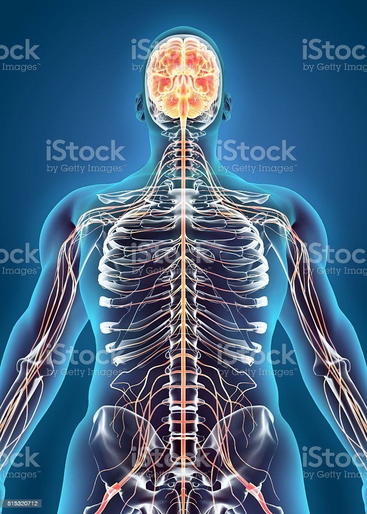 Human Internal System Nervous System Stock Photo & More Pictures of ...