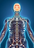 istock Human Internal System - Nervous system. 515320712