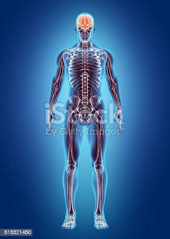 istock Human Internal System - Nervous system. 515321450